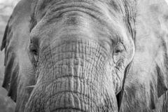 Close up of an Elephant head in the Kruger. Close up of an Elephant head in black and white in the Kruger National Park, South Africa stock photo