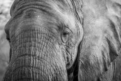 Close up of an Elephant head in the Kruger. Close up of an Elephant head in black and white in the Kruger National Park, South Africa royalty free stock photography