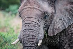 A close up of an Elephant head royalty free stock photography