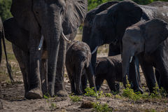 Close-up of elephant herd walking towards camera Stock Photo