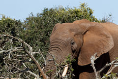 Close up of an  Elephant with his tusks in the branches Stock Photos
