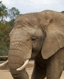 Close up of elephant Royalty Free Stock Images