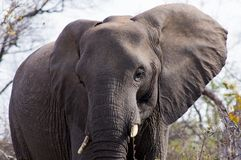 Close-up of an elephant in kruger national Park, Sout Africa. Royalty Free Stock Photo