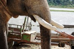 Close up of elephant with pair of tusks removed. A close up of elephant with its pair of tusks removed  near the lake at DakLak Vietnam Royalty Free Stock Photos