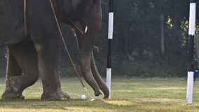 Close-up of elephant polo in Nepal Royalty Free Stock Images