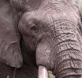 Close-up of an Elephant's head royalty free stock image