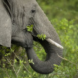 Close-up on a elephant's head Stock Photography