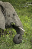 Close-up on a elephant's head Royalty Free Stock Image