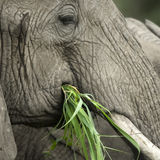 Close-up on a elephant's head Royalty Free Stock Photos