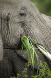 Close-up on a elephant's head Stock Images