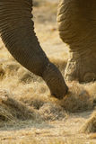 Close-up of an elephant's trunk Royalty Free Stock Photos