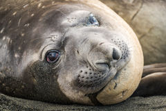 Close-up of elephant seal lying on beach Royalty Free Stock Photo