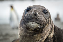 Close-up of elephant seal with penguins behind Stock Photography