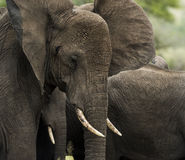 Close-up of an elephant, Serengeti, Tanzania Stock Image