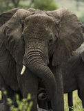 Close-up of an elephant, Serengeti, Tanzania Stock Images