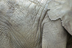 Close up of an elephant skin Royalty Free Stock Images