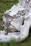 Close-up of Elephant Skull in Savannah Royalty Free Stock Photography