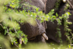 Close up of Elephant South Africa Royalty Free Stock Photos