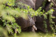 Close up of Elephant South Africa. A Close up of Elephant South Africa royalty free stock photos