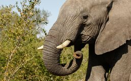 Close up of an Elephant in South Africa Royalty Free Stock Photos