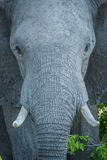 Close-up of elephant staring straight at camera Stock Photo