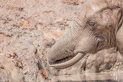 Close-up of an elephant taking mudbath stock photos