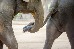 Close up elephant trunk holding the tail of another elephant Royalty Free Stock Images