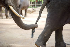 Close up elephant trunk holding the tail of another elephant Royalty Free Stock Photo