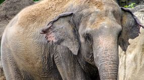 Close up of elephant without tusk throw sand on top at Southeast Asia royalty free stock image
