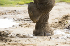 Close up of elephants foot Royalty Free Stock Images