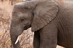 Close up of an elephants head Stock Image