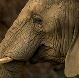 Close up of an elephants head isolated. Close up of an elephants head Royalty Free Stock Photography