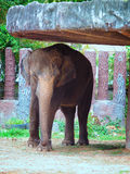 Close up Elephants in the zoo Royalty Free Stock Images