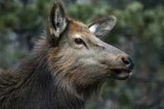 Close Up of an Elk Royalty Free Stock Images