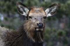 Close Up of an Elk Royalty Free Stock Image