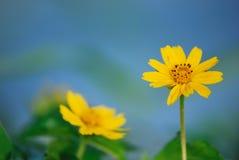 Close-up em ásteres amarelos Imagem de Stock Royalty Free