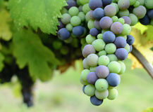 Close up em cima de um grupo de uvas unripened em um vinhedo Foto de Stock Royalty Free