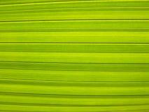 Close up em folha de palmeira Fotografia de Stock