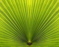 Close up em folha de palmeira com simetria e linhas Imagem de Stock Royalty Free