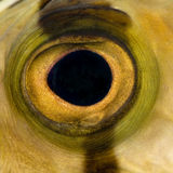Close-up em um olho de peixes foto de stock royalty free
