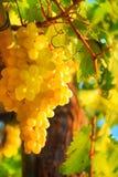 Close up em uma uva branca imagens de stock royalty free