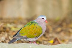 Emerald Dove(Green-winged Pigeon) bird Stock Photos