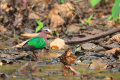 A close up of an Emerald Dove walking in the stream Stock Photo