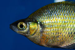 Close Up Emerald Rainbowfish Stock Photo