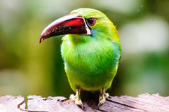 Close up of an emerald Toucanet Stock Photo