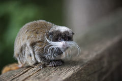 Close-up of a Emperor Tamarin ape Stock Photography