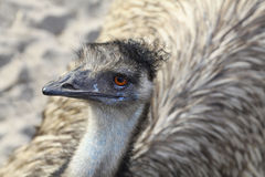 Close Up of an Emu From Above Royalty Free Stock Images