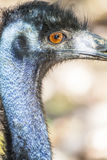 Close up of an Emu Royalty Free Stock Images