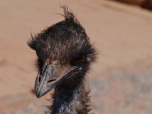 Close up of a emu Stock Photos