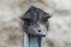 Close up emu portrait. A beautiful close up emu portrait Stock Photo